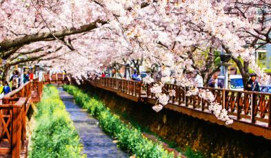 korea cherry blossoms 2018