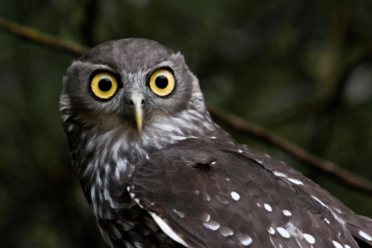 Barking Owl, Western Australia