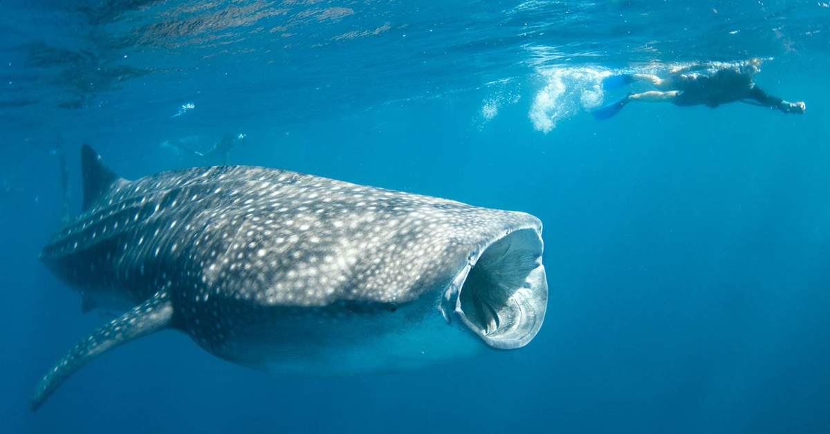 Swimming with whale sharks at Ningaloo Reef, Western Australia