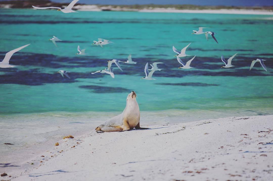 Sea lions, Western Australia