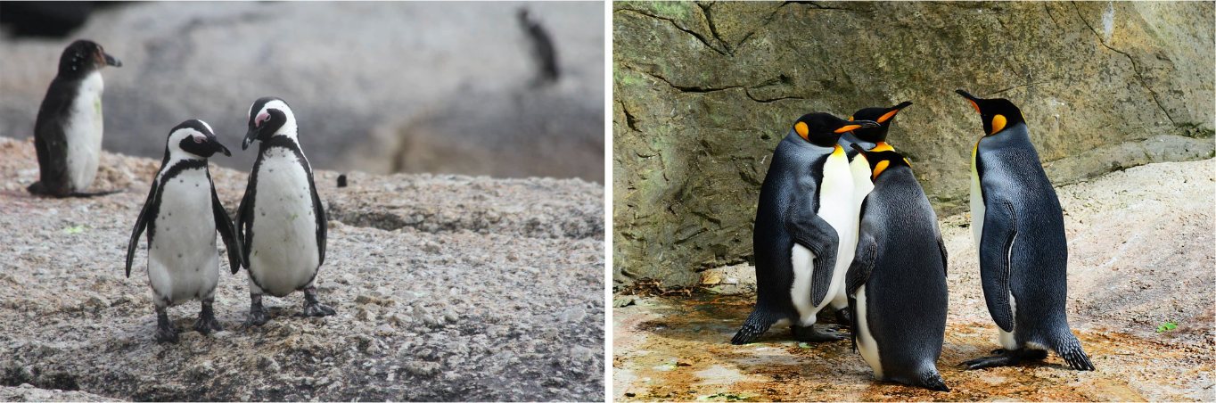 Cute Penguins in Western Australia