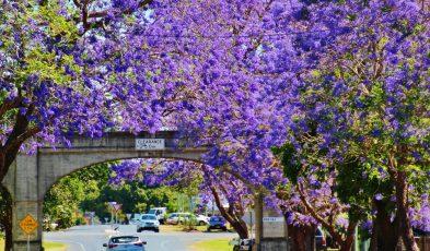 Jacarandas in Grafton City New South Wales
