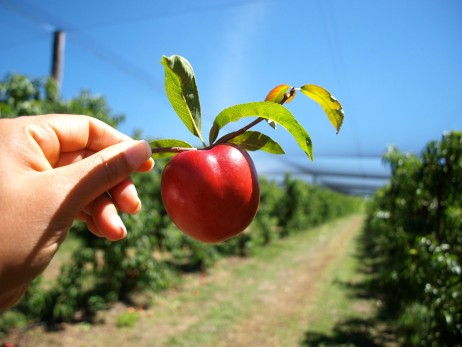 Fruit picking at Canoelands Orchard New South Wales